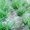 麦冬苗产地供货