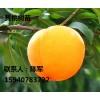 供应黄桃前八桃苗 优质桃树苗 黄桃果树种苗 桃苗价格