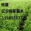 早油王油桃苗 早油王油桃树苗新品种 早油王油桃苗多少钱一棵