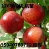 供应辽宁126号油桃桃树 桃苗辽宁桃苗 无冻害 高产量