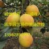 满天红梨图片 满天红梨苗  价格