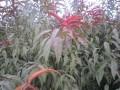 红叶碧桃 定州明远苗圃