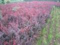 紫叶小檗 红叶小檗
