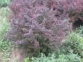 紅葉小檗球 紫葉小檗球
