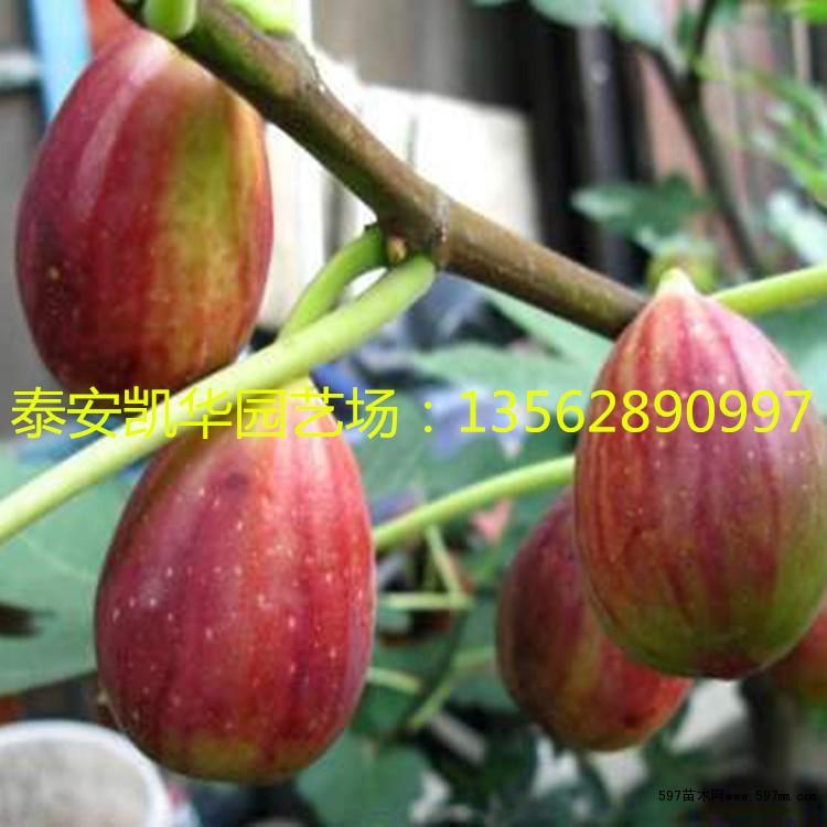 波姬红无花果苗哪些品种耐寒性好|果树小苗|绿化苗木