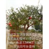 供应盆栽石榴树