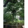 大量供应青檀树