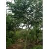 大量供应优质青檀树