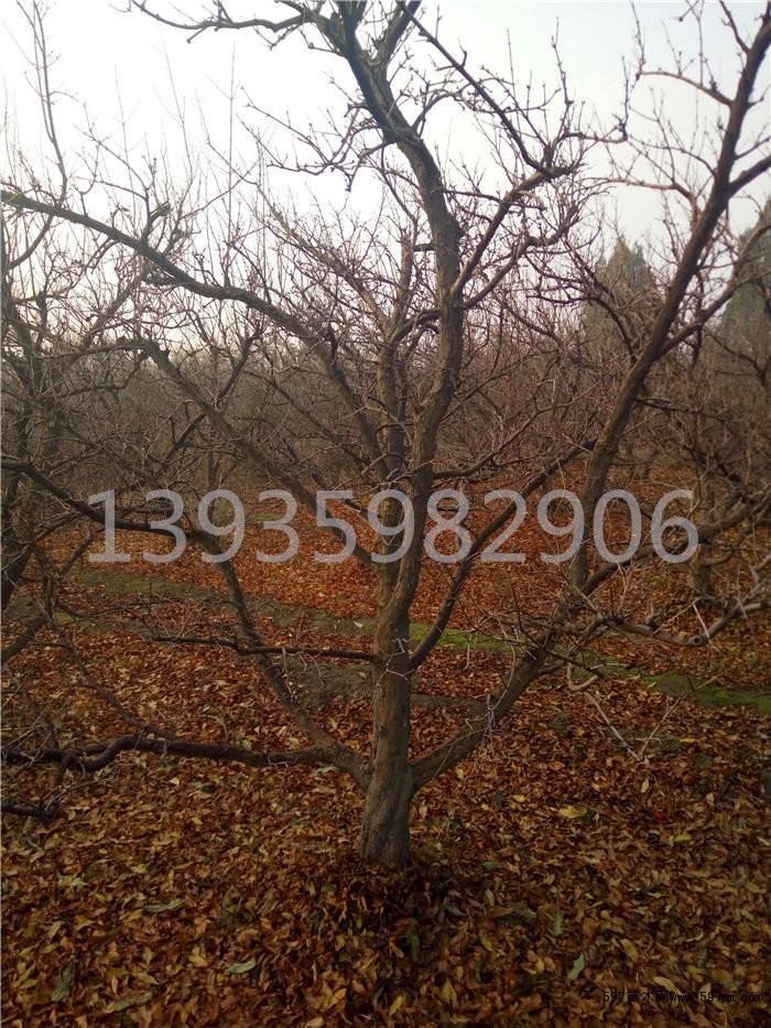石榴树苗,10公分石榴树,15公分石榴树,山楂树,梨树,柿子