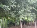 丝棉木 定州明远苗圃