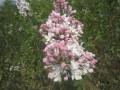 紫丁香  定州明远苗圃