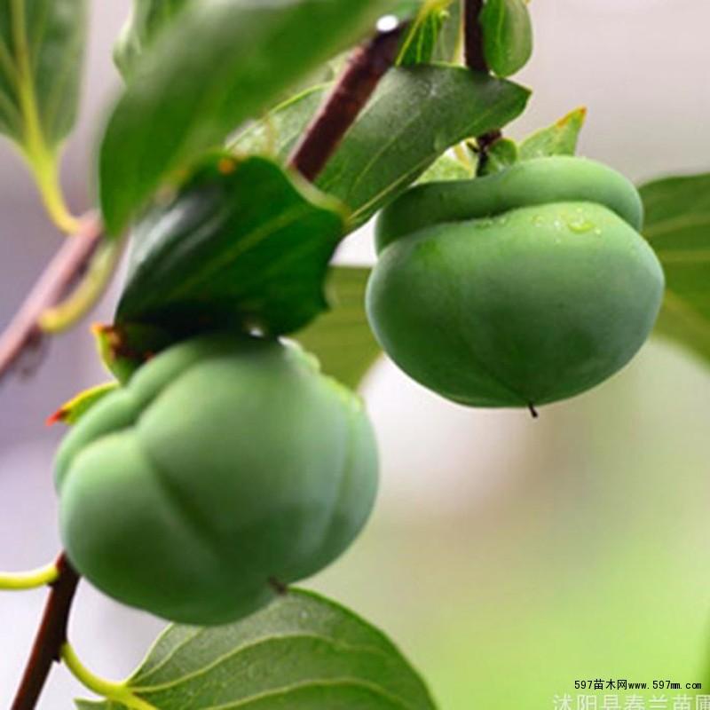 牛心柿子树苗直销 富有甜柿柿子苗 果树苗 现货充足 小苗
