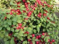 农大钙果种植基地