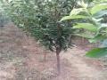 李子苗品种脆红李