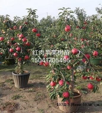红色之爱苹果苗|果树小苗|绿化苗木|供应信息|597苗木