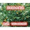 8公分柿子树-9公分柿子树-10公分柿子树价格