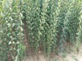 李子苗批发基地品种