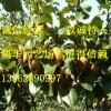 黄金梨苗批发 种植基地 泰安凯华