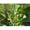 做篱笆用哪几种苗最好多少钱一  篱笆用苗枸橘枳壳铁篱笆花椒苗