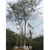 云南地区供应  滇朴  朴树