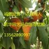 黄金蜜1号桃苗介绍 黄金蜜1号桃苗品种