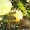 秋月梨苗,1公分秋月梨苗价格