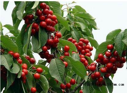 大樱桃树苗出售,大樱桃树苗价格,大樱桃树苗批发