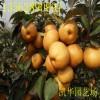 梨苗 有京白梨、南果梨、安梨、花盖梨等