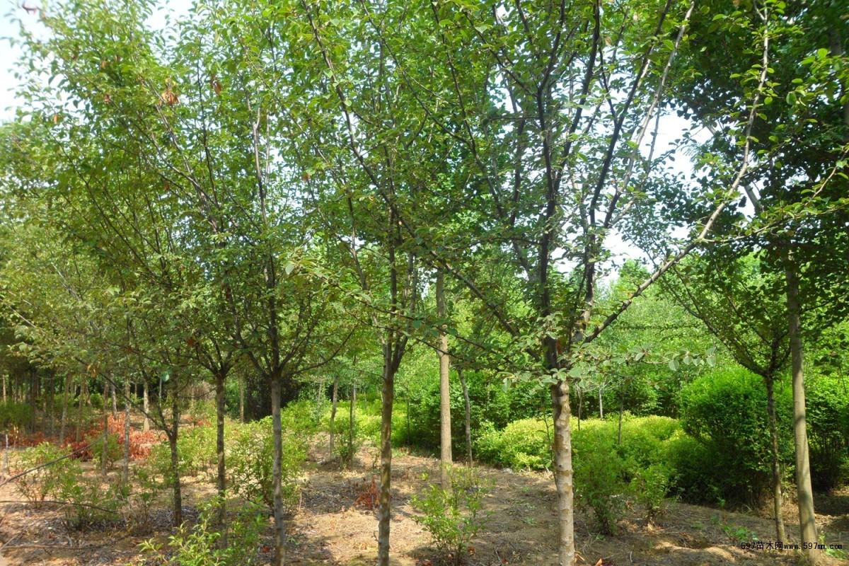 木瓜树 木瓜海棠基地