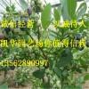 都克蓝莓苗_都克蓝莓苗价格 蓝莓苗