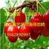 高120-160cm早大果樱桃苗价格5.00元/株,早大果