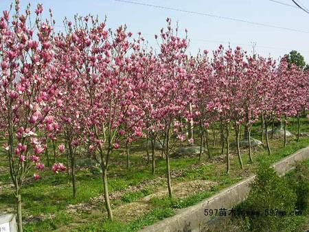 紫薇苗紫薇树的园林用处供应紫薇哪里有苗好价又便宜的紫薇树