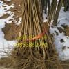 哪里有突尼斯软籽石榴苗突尼斯软籽石榴苗多少钱一棵