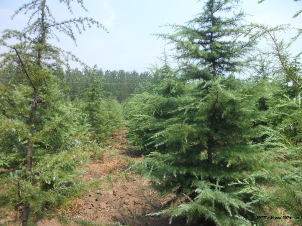 雪松,又称香柏,是松科雪松属(学名:Cedrus)植物的统称。该属种类球果形状相似,与杉树最为接近。原产于喜玛拉雅山脉海拔1,500-3,200米的地带和地中海沿岸1,000-2,200米的地带。常绿乔木,树冠尖塔形,大枝平展,小枝略下垂。叶针形,质硬,灰绿色或银灰色,在长枝上散生,短枝上簇生。10-11月开花。球果翌年成熟,椭圆状卵形,熟时赤褐色。 生态习性: 雪松喜年降水量600——1000毫米的暖温带至中亚热带气候,在中国长江中下游一带生长最好。抗寒性较强,大苗可耐-25的