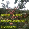 矮化苹果苗_2016年矮化苹果苗价格 矮化苹果苗矮化苹果苗