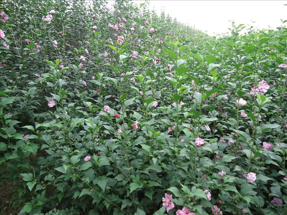 苗圃供应绿化苗木木槿树苗3——4公分木槿树苗价格木槿树苗批发