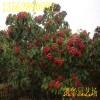大果山楂树_大果山楂树价格 3公分大山楂树10万株