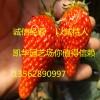 2016草莓苗多少价格