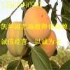 水果柿子苗_水果柿子苗价格_优质柿子苗价格