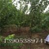 8公分9公分杏树亩产量