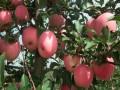 烟富3号苹果苗