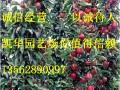 柱状苹果苗图片