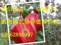 红肉苹果苗图片
