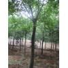 16-18-20-25公分朴树