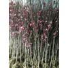 黑松、石楠、连翘、迎春、腊梅、红绿梅、垂梅、榆叶梅