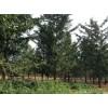 大量供应批发14公分银杏树苗哪里最便宜多少钱一棵