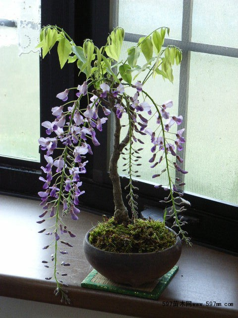 现货直销紫藤树苗攀援花卉紫藤树苗1——5公分紫藤树价格