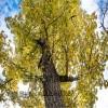 隆昇银杏基地  大量供应3公分、8公分银杏 银杏树