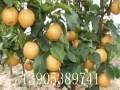 3公分晚秋黄梨树苗种植方法