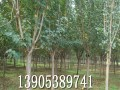 13公分樱花树销售